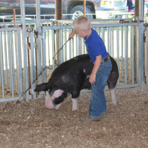 Showing pigs at the Ford County Fair in Melvin, Illinois